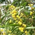 相思樹の花