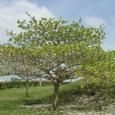 モモタマナ 樹形