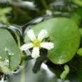ヒメシロアサザの花