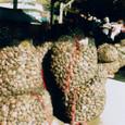 今日の水揚げ シナハマグリ